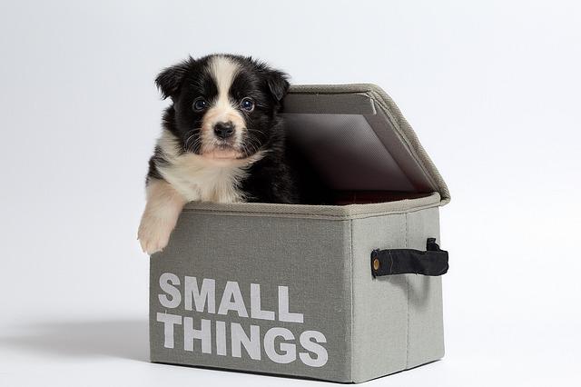 Bordoodle puppies sale